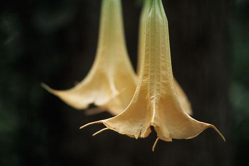 image 1-354-30 Puerto Rico, Datura flower, Toro Negro Forest
