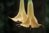 wildflower stock photography | Puerto Rico, Datura flower, Toro Negro Forest, image id 1-354-30