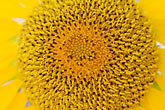petal stock photography | Canada, Quebec City, Sunflower, image id 5-750-298