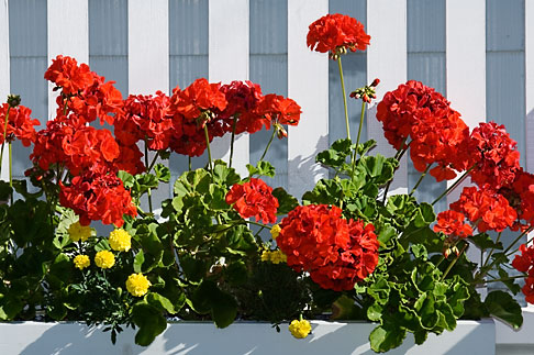 image 5-750-9571 Canada, Quebec City, Red flowers and picket fence
