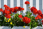 garden and window stock photography | Canada, Quebec City, Red flowers and picket fence, image id 5-750-9571