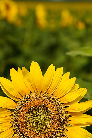 image S5-128-9576 Flowers, Sunflower