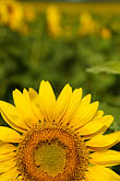detail stock photography | Flowers, Sunflower, image id S5-128-9576