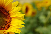 detail stock photography | Flowers, Sunflower, image id S5-128-9594