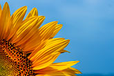 blue sky stock photography | Flowers, Sunflower, image id S5-128-9604