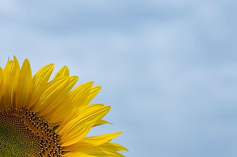 image S5-128-9605 Flowers, Sunflower