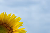 blue sky stock photography | Flowers, Sunflower, image id S5-128-9605