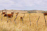 agrarian stock photography | Spain, Cadiz, Cows, image id S5-128-9633
