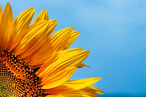 image S5-128-978 Flowers, Sunflower