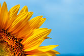 blue sky stock photography | Flowers, Sunflower, image id S5-128-978