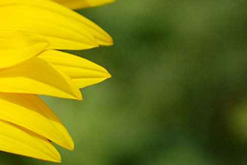 image S5-128-99 Flowers, Sunflower