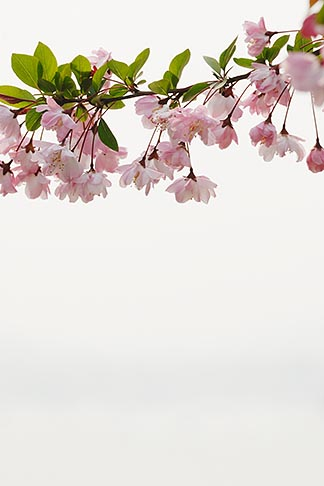 image 7-620-4400 China, Cherry blossoms