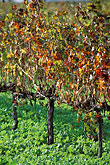 grape stock photography | South Africa, Stellenbosch, Vineyards, Jonkershoek Valley, image id 1-410-31