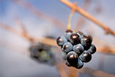 wine tasting stock photography | South Africa, Stellenbosch, Grapes on the vine, image id 1-410-65