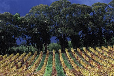 image 1-410-82 South Africa, Stellenbosch, Vineyards, Delheim Winery
