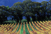 delheim winery stock photography | South Africa, Stellenbosch, Vineyards, Delheim Winery, image id 1-410-82