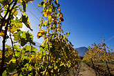 grapevine stock photography | South Africa, Franschhoek, Vineyards, Franschhoek Valley, image id 1-415-50