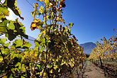 grape stock photography | South Africa, Franschhoek, Vineyards, Franschhoek Valley, image id 1-415-51