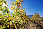grape vines stock photography | South Africa, Franschhoek, Vineyards, Franschhoek Valley, image id 1-415-52