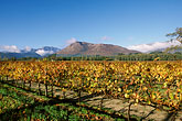 grape vines stock photography | South Africa, Franschhoek, Vineyards, Franschhoek Valley, image id 1-415-82