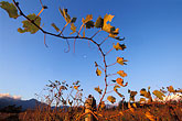 grape leaves stock photography | South Africa, Helderberg, Vineyards at dusk, Vergelegen Wine Estate, image id 1-418-1