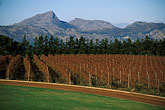 fields and mountains stock photography | South Africa, Helderberg, Vineyards and mountains, Vergelegen Wine Estate, image id 1-419-42