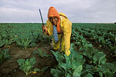 cropland stock photography | South Africa, Stellenbosch, Farm worker, image id 1-420-83