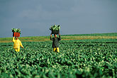 two people stock photography | South Africa, Stellenbosch, Farm workers, image id 1-420-86