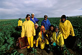 yellow stock photography | South Africa, Stellenbosch, Farm workers, image id 1-420-96