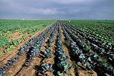 cabbage field stock photography | South Africa, Stellenbosch, Cabbage field, image id 1-420-98
