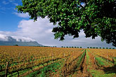 grape vines stock photography | South Africa, Stellenbosch, Vineyards, image id 1-421-7
