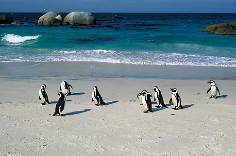 image 5-451-17 South Africa, Cape Peninsula, Jackass Penguins, Simonstown