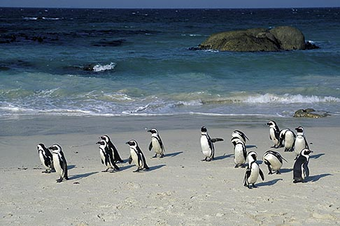 image 5-451-20 South Africa, Cape Peninsula, Jackass Penguins, Simonstown