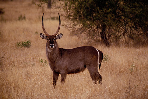 image 7-428-30 South Africa, Animals, Waterbuck