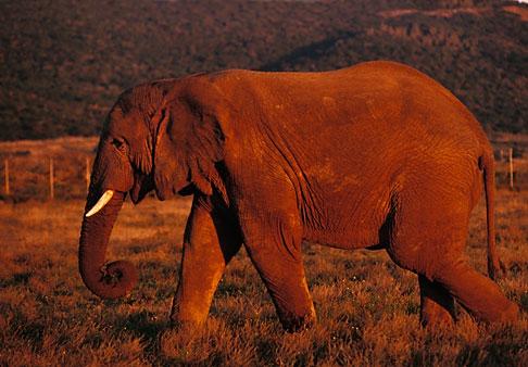 image 7-438-13 Southern Africa, Animals, Elephant, Shamwari Reserve