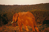 image 7-438-19 South Africa, Animals, Elephant at sunset