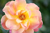 rose stock photography | Spain, Granada, Rose, image id S4-540-9915