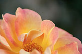 close up stock photography | Spain, Granada, Rose, image id S4-549-9920