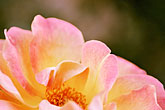 close up stock photography | Spain, Granada, Rose, image id S4-549-9921
