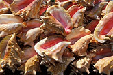 shellfish seafood stock photography | St. Lucia, Conch shells, image id 3-620-47