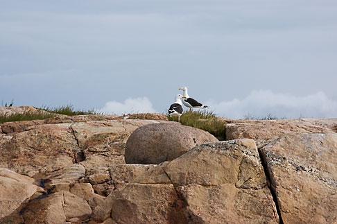 image 5-710-5535 Sweden, Fjallbacka, Gulls