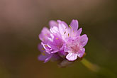purple flower stock photography | Sweden, Fjallbacka, WIldlfower, image id 5-710-5598