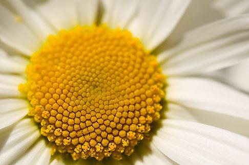 image 5-730-3480 Flowers, Daisy