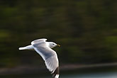 flight stock photography | Sweden, Grinda Island, Gull, image id 5-730-3715
