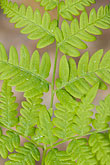 green fern stock photography | Sweden, Grinda Island, Ferns, image id 5-730-3717