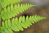 green fern stock photography | Sweden, Grinda Island, Ferns, image id 5-730-3729