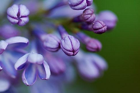 image 5-730-3798 Sweden, Grinda Island, Lilac