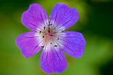 purple stock photography | Sweden, Grinda Island, Wildflower, image id 5-730-6205