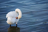 ripples stock photography | Birds, White swan, image id 5-730-6310