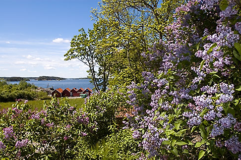image 5-730-6408 Sweden, Grinda Island, Lilac bushes and waterfront